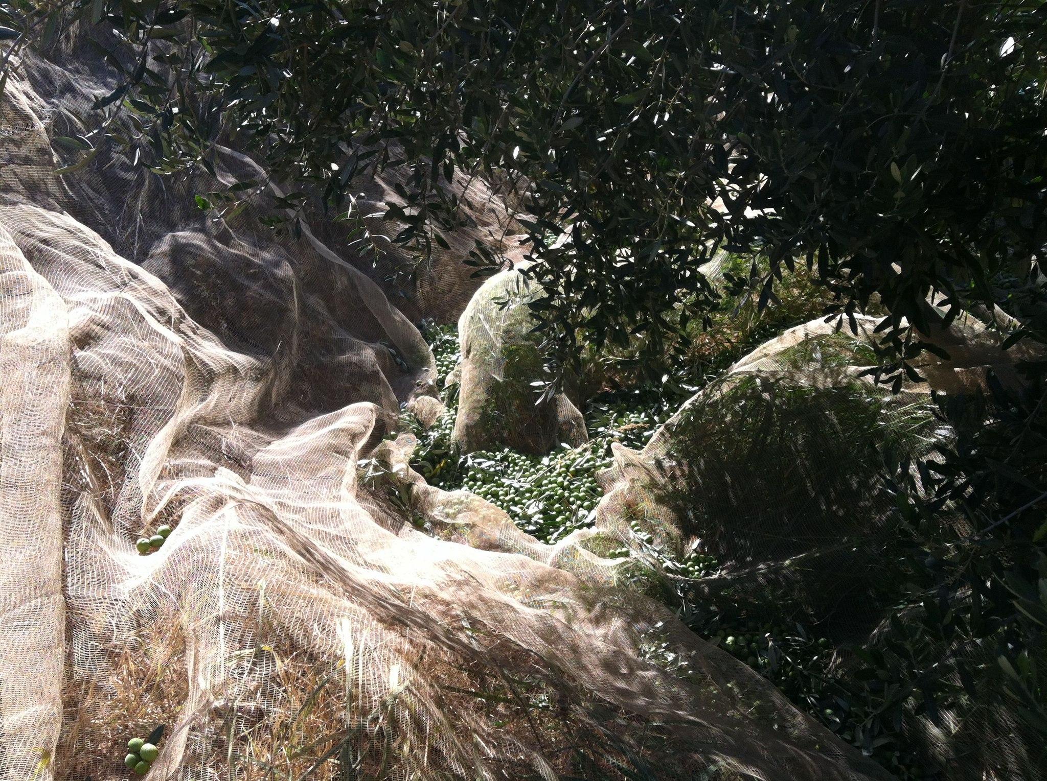 Harvesting olives at Tenute Librandi Pasquale